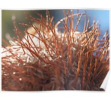 Close to a Banksia Poster