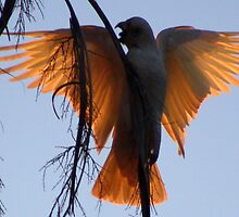 white Corella on sunset by Trish Threlfall