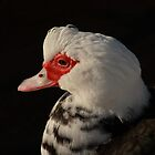 potrait of a muscovy duck by Jicha