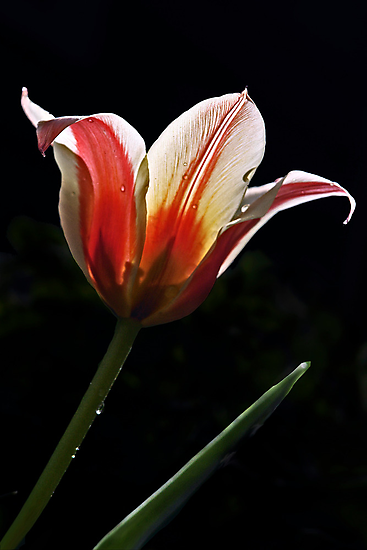 Red and White Tulip by cclaude
