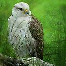 Gyr x Saker  Falcon  by Declan Carr