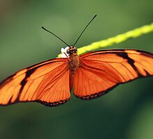 Flame butterfly by Grant Glendinning