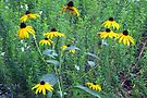 Little Patch of Black Eyed Susans by AuntDot