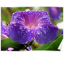 Morning Glory (Ipomoea Purpurea) Petals and Dew Drops  Poster