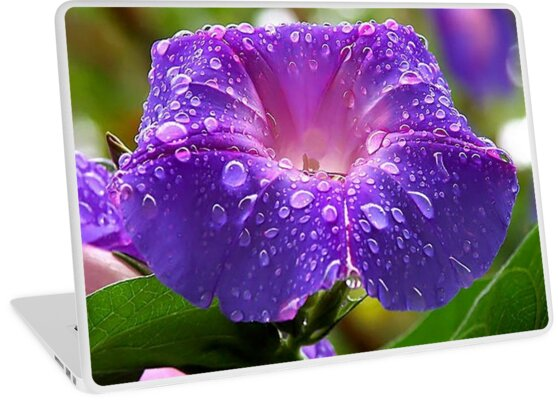 Morning Glory (Ipomoea Purpurea) Petals and Dew Drops  by taiche