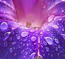 Morning Glory (Ipomoea Purpurea) Petals and Dew Drops  Sticker