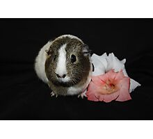 Daisy the Guinea Pig Photographic Print