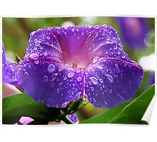 Morning Glory Petals and Dew Drops Vector Poster