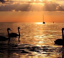 Swan Silhouettes Sunset on the Lake by neb-photography