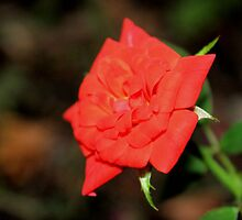 Miniature Rose by aprilann