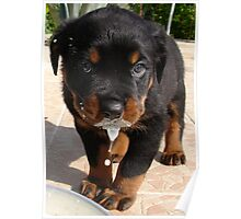 Cute Rottweiler Puppy Lapping Milk Poster