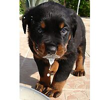 Cute Rottweiler Puppy Lapping Milk Photographic Print