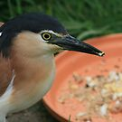 Nankeen Night Heron by ellismorleyphto