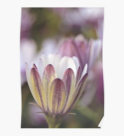 Soft African Daisies Poster
