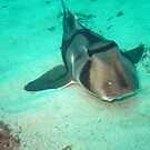 PORT JACKSON SHARK by springs