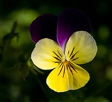 Purple and yellow by fotovivencias