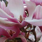 Magnolia flower   by lettie1957