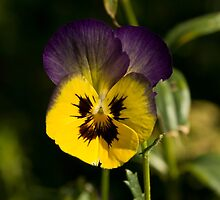 Purple, yellow and black by fotovivencias