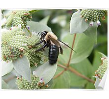 Bee and Flower Close-Up, New York Botanical Garden, Bronx, New York Poster