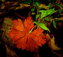 Red and Wild Geranium Leaf - Geranium maculatum by MotherNature