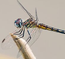 Female Blue Dasher Dragonfly posting prettily by Bonnie T.  Barry