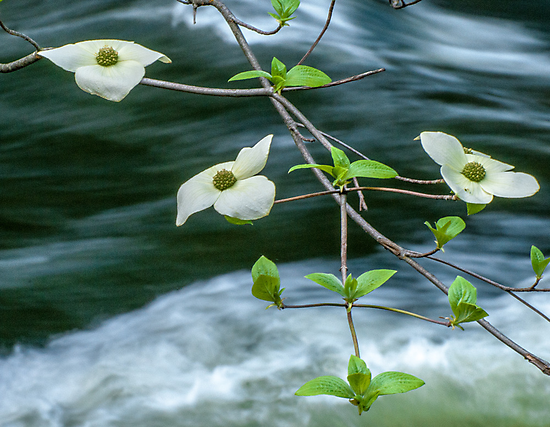 ** DOGWOOD BLOOMING OVER THE MERCED RIVER ** by RGHunt