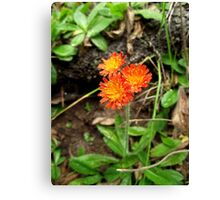 Orange Hawkweed Trio Canvas Print