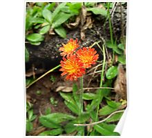Orange Hawkweed Trio Poster