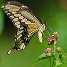 Giant Swallowtail by Briar Richard