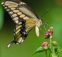 Giant Swallowtail by Briar Richard