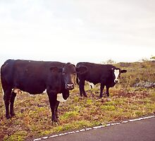 Cows! by Shannon Kerr