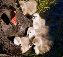 I'm Listening Little Lilly - Black Swans - Cygnets - NZ by AndreaEL