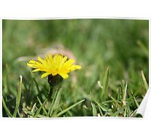 Single Dandelion in grass Poster