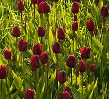 Tulip Field Tulips Violet Dark Purple Purple by justforyou