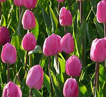 Tulip Field Tulips Pink Light Pink Tender by justforyou