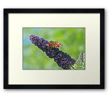Peacock Butterfly on Budleia Framed Print