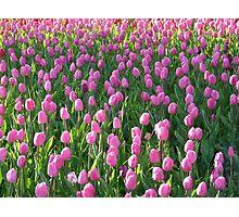 Tulip Field Tulips Pink Light Pink Tender Photographic Print