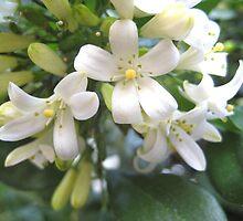 Flowering white Gardenias by Kelly Walker