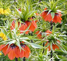 Imperial Crown Flower Yellow Orange by justforyou