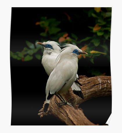 Bali Starlings, Cotswold Wildlife Park Poster