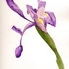 Iris by deanobrien