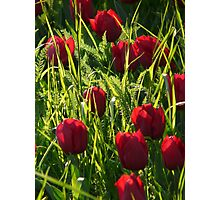 Tulip Field Tulips Purple Back Light Seem Photographic Print