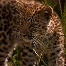 Amur Leopard Cub by JMChown