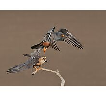 Red-footed falcons - male and female Photographic Print
