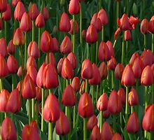 Tulip Field Tulips Red Closed To Tulpenbluete by justforyou