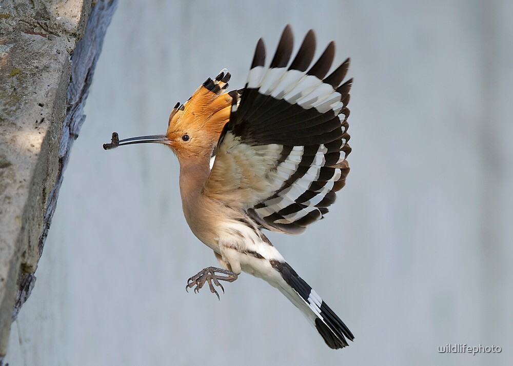 Hoopoe by wildlifephoto