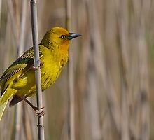 Another Yellow Bird..... by Macky