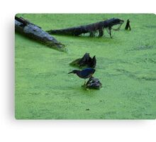 Green Heron Hunting Through Duck Grass Canvas Print