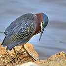 Green Backed Heron At Huntington by Kathy Baccari