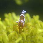 Tiny Shrimp by Judd3rman